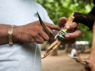 SHOCKER As a Cock Mysteriously Kills Owner With Knife -[SEE PHOTO]